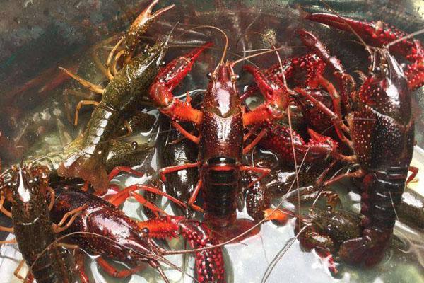 小龙虾收购价几近腰斩的原因有哪些?后期会涨吗?