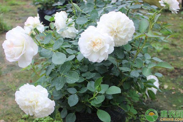 白色大花月季有哪些品种?