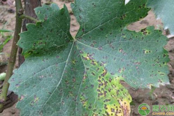 葡萄褐斑病发病规律,危害叶片怎么防治?