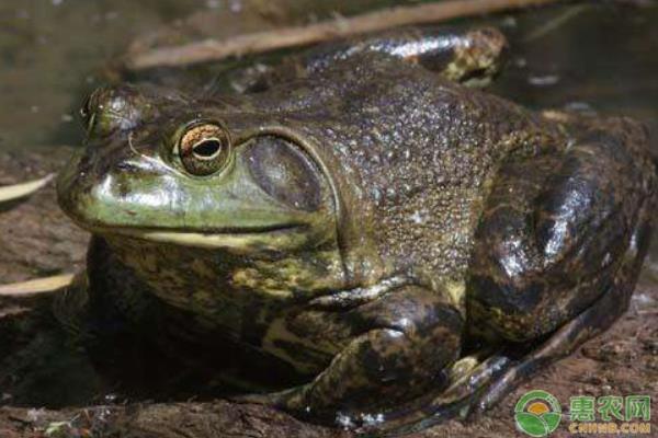 牛蛙养殖经济效益如何?