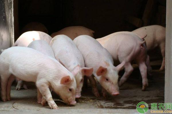 约克夏猪养殖模式是怎么样的?