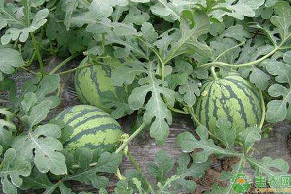 小型西瓜有哪些品种?常见的八大品种介绍