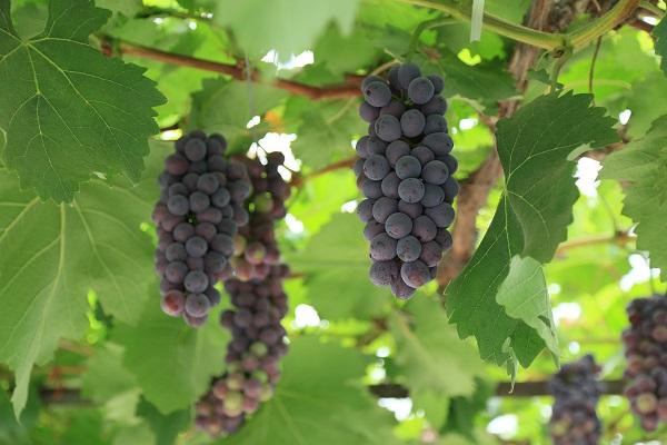 葡萄白腐病与葡萄日烧病怎么区分呢?