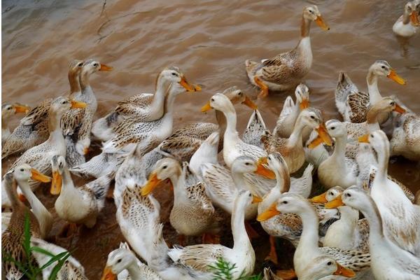 种鸭产蛋期间常见病如何防治?