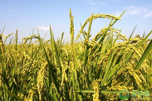 银川警方破获假稻种案!假水稻种子有哪些形式?如何索赔?