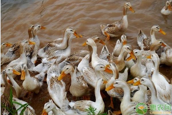 鸭常见病毒性疾病怎么防治?