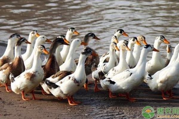 种鸭管理有哪些措施?