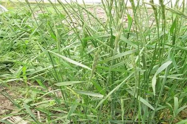 小麦野燕麦除草剂什么时候打?