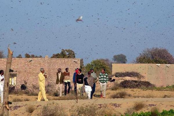 印度遭遇蝗虫疫情双重灾难,蝗灾可能引起大饥荒!
