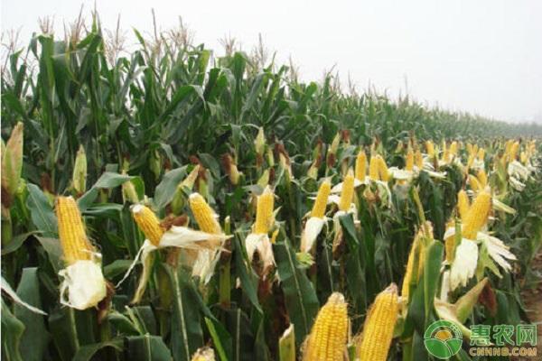 2020年6月份全国各地玉米价格行情汇总