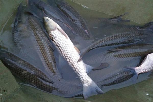 2020年6月份全国草鱼价格行情分析