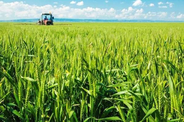 2020年端午节前后小麦价格行情预测