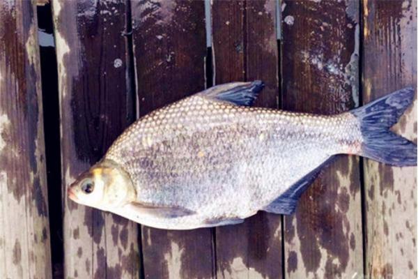 2020年鳊鱼价格多少钱一斤?鳊鱼养殖前景怎么样?