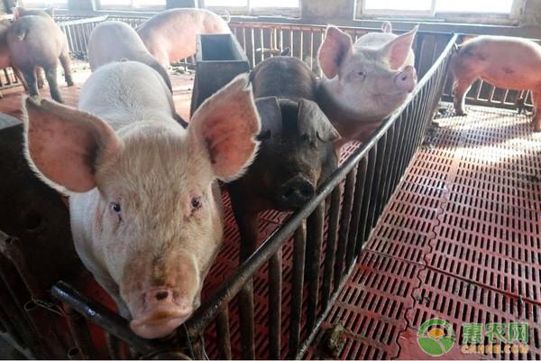 非洲猪瘟疫苗临床试验进展顺利,能否控制非洲猪瘟疫情?