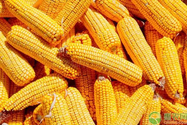七月份玉米能涨价吗?2020全国玉米价格最新报价