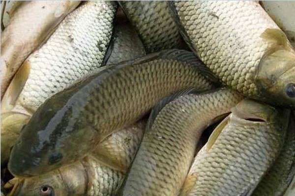 淡水鱼有哪些种类?