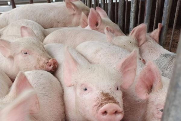 全国猪瘟疫情最新消息