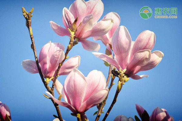 玉兰花花语是什么?适合送给哪些人?