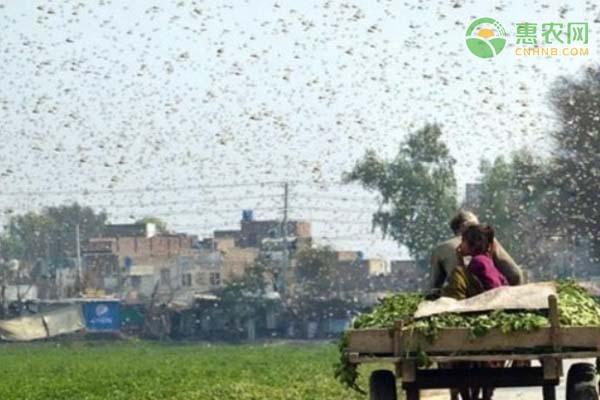 印度首都多地出现大量蝗虫群!大规模蝗虫群是如何形成的?