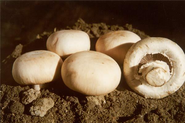 常见蘑菇的种类介绍