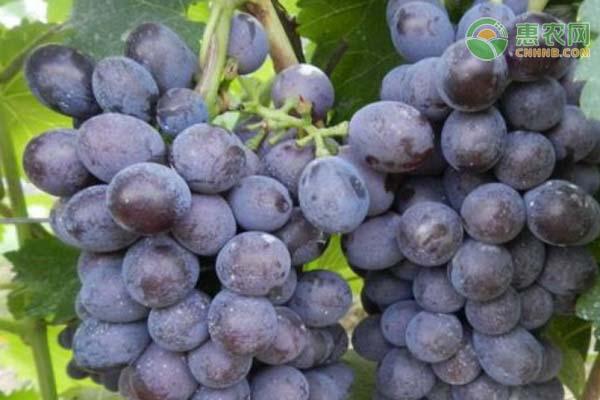 夏黑葡萄的功效和作用