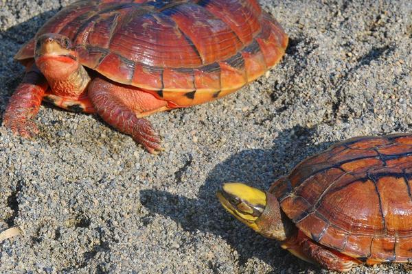 金钱龟多少钱一只?如何挑选健康的金钱龟?