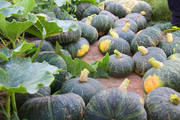 优质的南瓜品种介绍