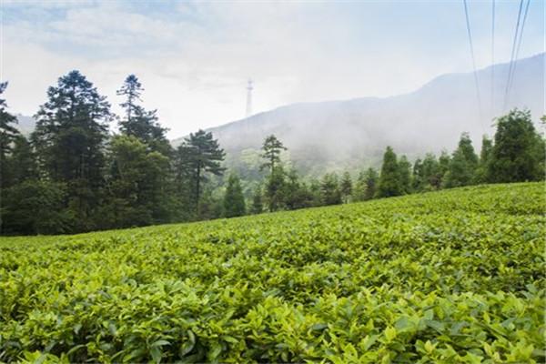 惠农网助力沅陵凤娇碣滩茶业直播营销,吸引22万人次观看