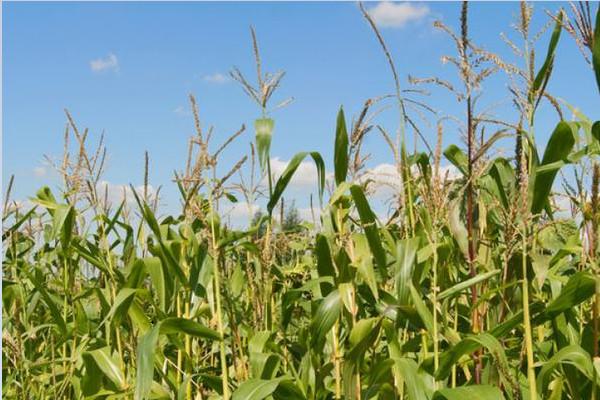 2020年7月份全国玉米价格行情预测及走势分析