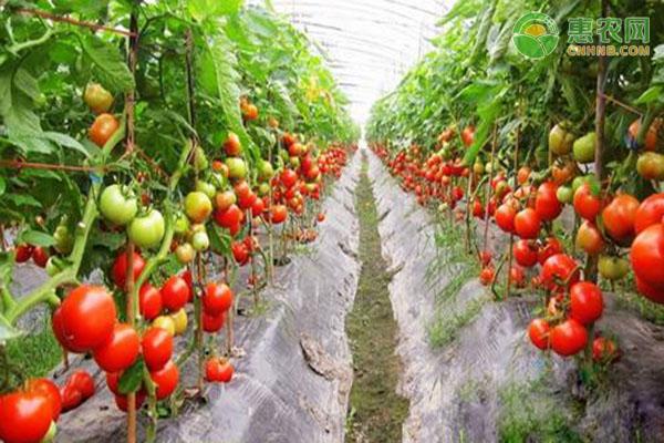 番茄怎么种?