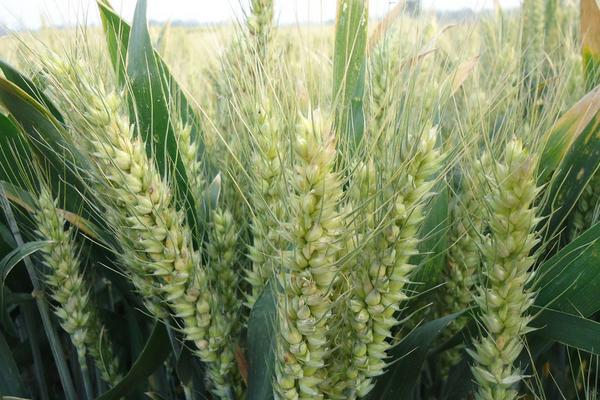 2020小麦当前价格行情分析