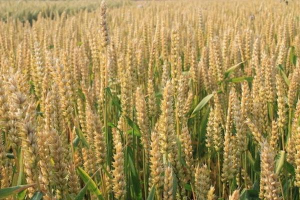 2020河北今日的小麦报价是多少?
