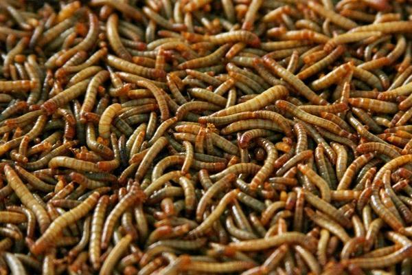 2020黄粉虫价格多少钱一斤?黄粉虫养殖前景分析