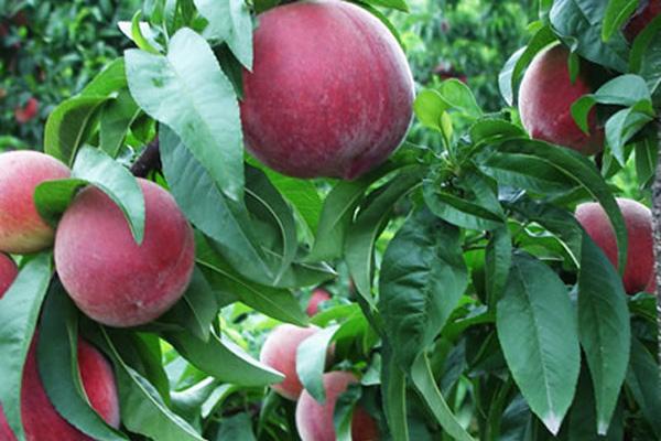 血桃多少钱一斤?血桃和黑桃有什么区别?