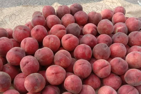 血桃和水蜜桃哪个好吃?它们有哪些区别?