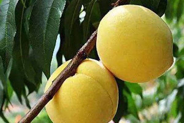 中国十大名桃是哪些?