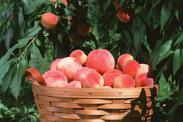 最贵最好吃的桃品种介绍