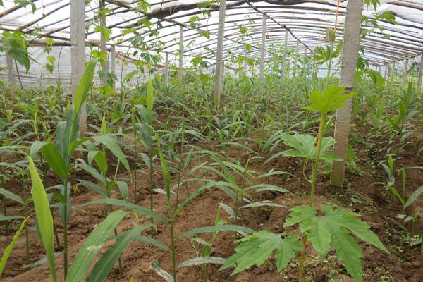 生姜什么时候种植最合适?