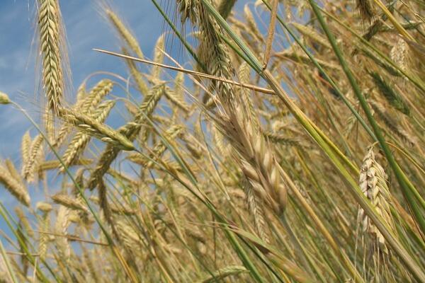 2021年小麦价格预测