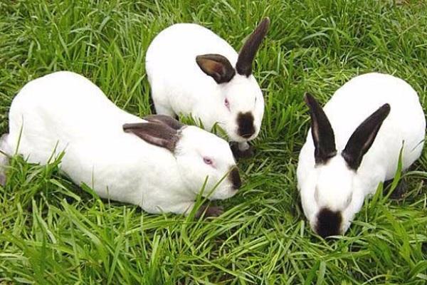 獭兔养殖技术有哪些?