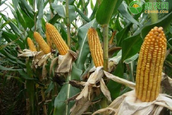 2020年8月玉米价格最新行情及走势