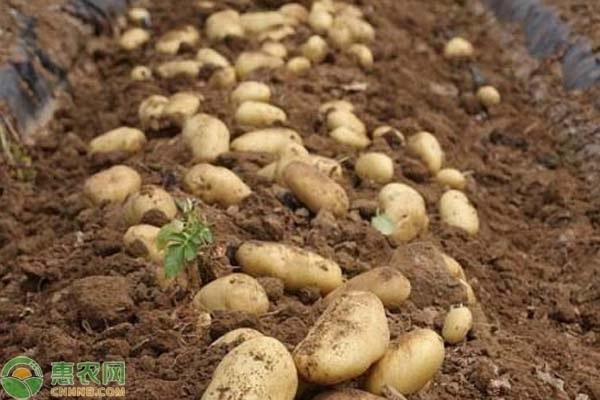 马铃薯是什么?植物的根还是茎?