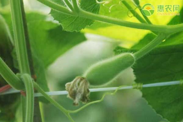葫芦瓜的功效和作用有哪些?葫芦瓜要怎么吃?