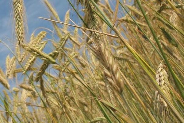 2020年8月份小麦价格最新行情