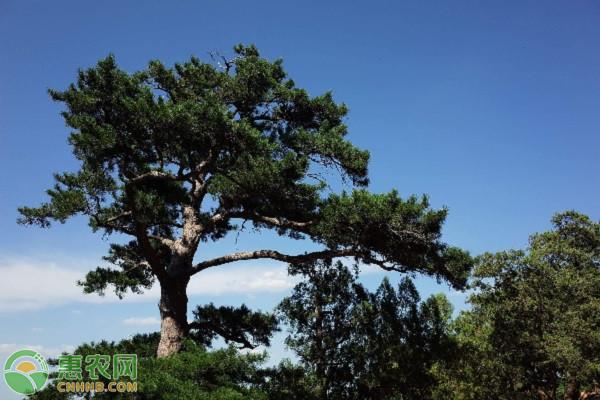 松树风水禁忌和讲究有哪些?