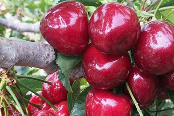 大樱桃苗多少钱一棵?大樱桃苗什么品种好?