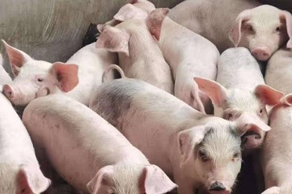 2020养猪的利润与成本