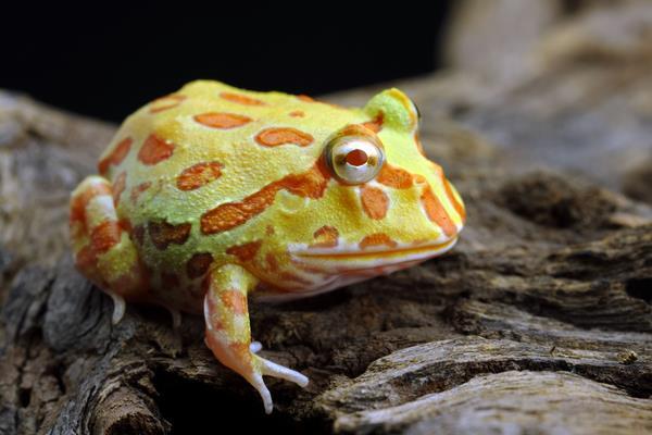 角蛙吃什么?多久喂一次?
