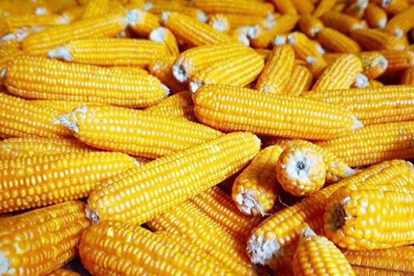 今天玉米价格多少钱一斤?2020年9月7日玉米价格行情走势