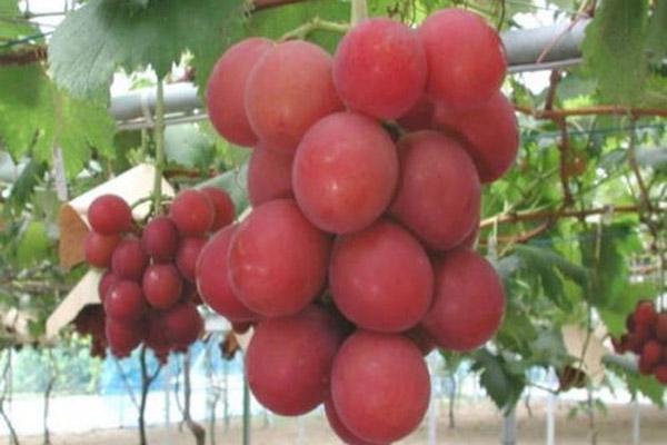 中国最贵的葡萄排行